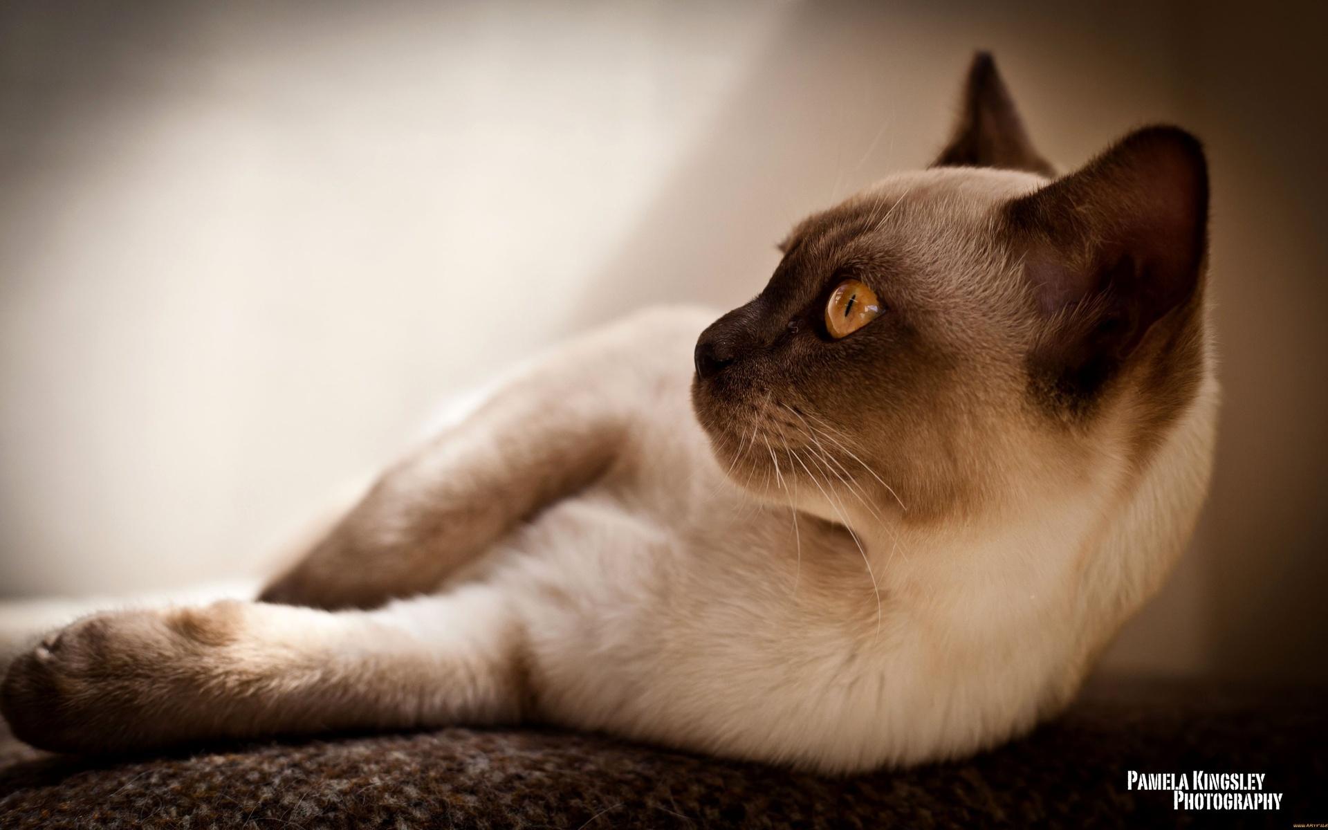 бирманская кошка обои на рабочий стол № 539350 загрузить